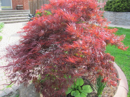 Japanese Maple doing well this year.