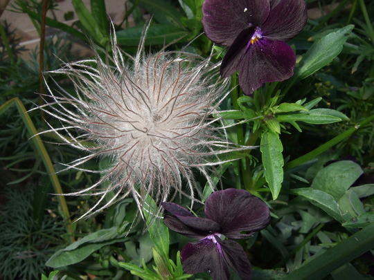 Pasque flower seed head. (Pulsatilla vulgaris (Pasque flower))