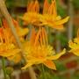 """Sues Trollius Chinensis """"Golden Queen"""" (trollius chinensis)"""