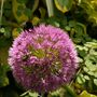Bees_on_allium_5_june