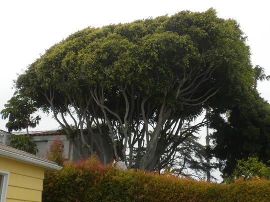 Ficus benjamina - Tall, Large Weeping Fig at Ocean Beach, San Diego, CA. (Ficus benjamina - Weeping Fig)