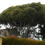 Ficus benjamina - Tall, Large Weeping Fig at Ocean Beach, San Diego, CA. (Ficus benjamina - Weeping Fig)