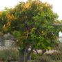 Lonicera hildebrandiana - Tropical Giant Burmese Honeysuckle (Lonicera hildebrandiana)