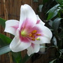 Pink Trumpet Lily