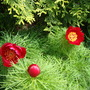 For Bjs (Paeonia tenuifolia)