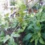 Fatsia japonica new leaves (Fatsia japonica)