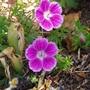 Geranium sanguineum 'Elke' (Geranium sanguineum 'Elke')