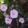 Geranium sanguineum striatum (Geranium sanguineum striatum)