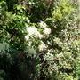 Hydrangea petiolaris (Hydrangea petiolaris)