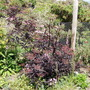 Sambucus Black Beauty  (Sambucus nigra (Black Elder))