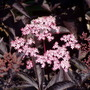 Sambucus Black Beauty flower close up (Sambucus nigra (Black Elder))