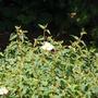 Cistus coorbariensis flowers (Cistus corbariensis)
