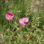 Cistus purpureum (Cistus purpureum)