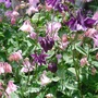 Pink & Purple Aquilegia mingle