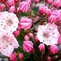 Tinkerbell Mountain Laurel (Kalmia latifolia (Calico bush))