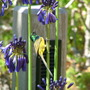 """Graskop""..new variety of agapanthus , with sunbird."