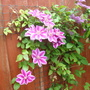 """Clematis """"Dr Ruppell"""""""