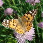 Lovely butterfly on the chives