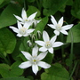 Ornithogalum umbellatum (Ornithogalum umbellatum)