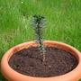 Araucaria araucana (Araucaria araucana (Monkey Puzzle, Chilean pine))