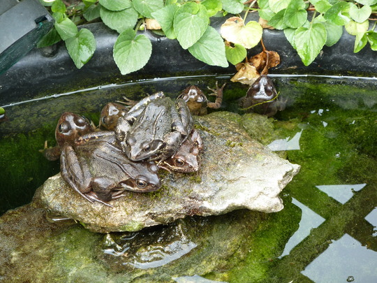 Pile of frogs