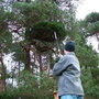 Broom hunting and collecting (common name; Scots pine)