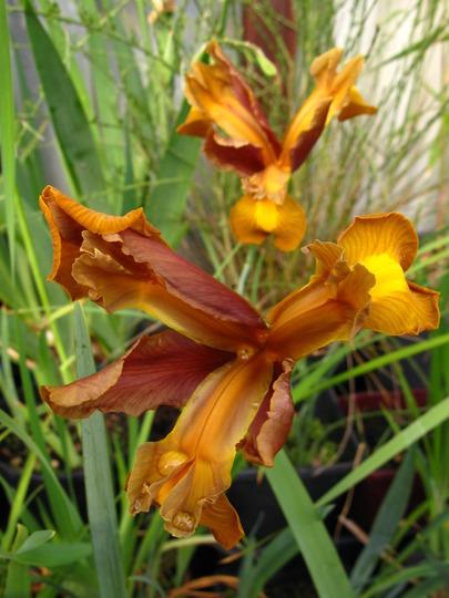 Iris bronze beauty