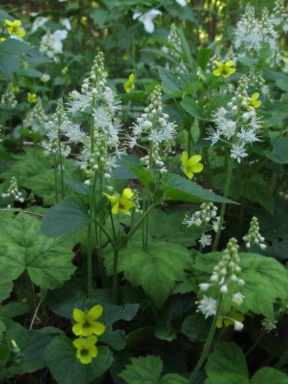 Tiarella cordifolia and viola~ wildflowers!