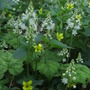 Tiarella cordifolia and viola~ wildflowers!