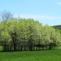 An island grove of wild cherry trees