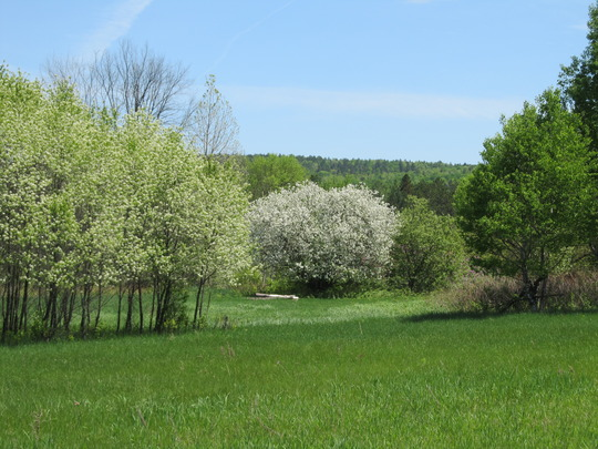 Wild cherry grove with Apple tree also in blossom