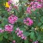 Pentas lanceolata - Star Flower