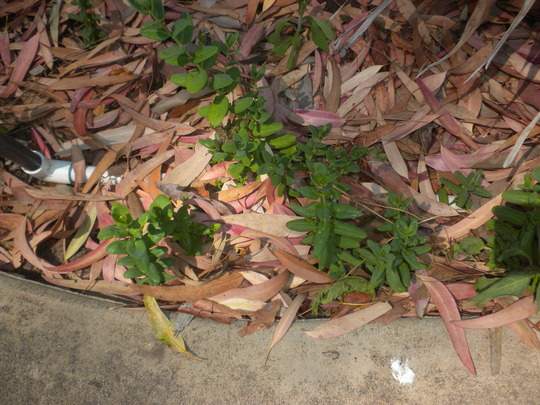 Polygala myrtifolia 'Grandiflora' - Sweet Pea Shrub Seedlings (Polygala myrtifolia 'Grandiflora' - Sweet Pea Shrub)