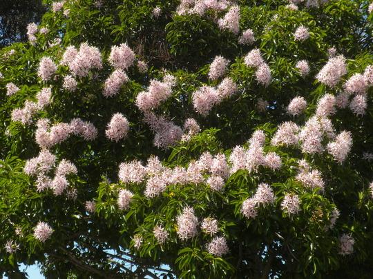 Calodendron capense - Cape Chestnut Flowers (Calodendron capense - Cape Chestnu)