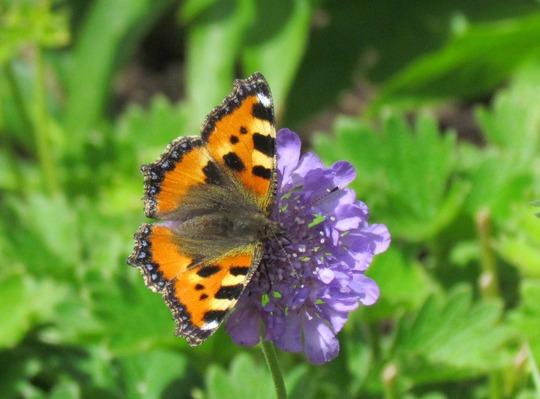Tortoiseshell butterfly on scabiosa