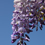 Wisteria floribunda (Wisteria floribunda)