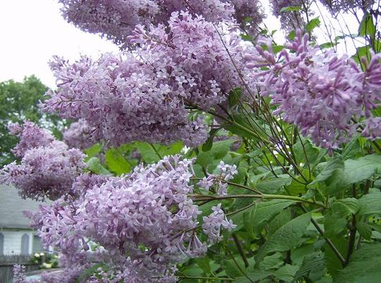 French Lilac