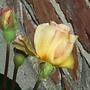 "Rose Bud - ""Buff Beauty"""