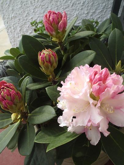 "Dwarf Rhododendron ""Dreamland"""