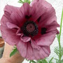 Papaver orientale &quot;Patty&#x27;s Plum&quot;