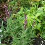 Salvia nemerosa 'blue'