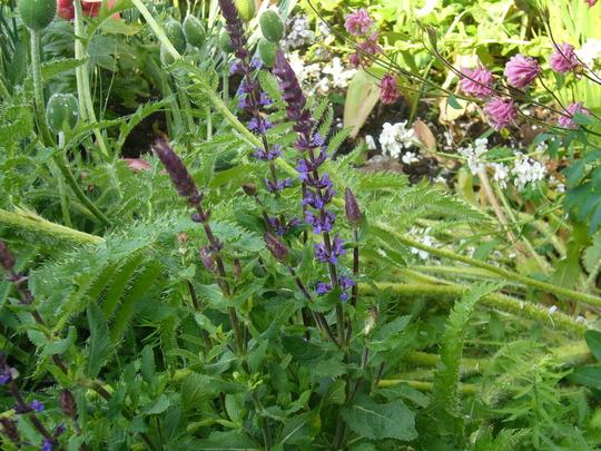 Salvia nemerosa 'blue' (Salvia nemerosa 'blue')