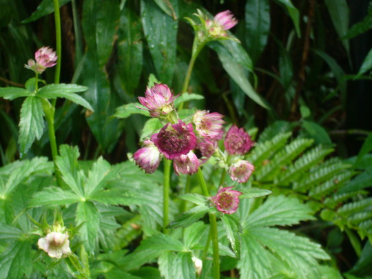 continues to grow and develop (Astrantia major 'Star of Beauty')
