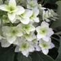 Hydrangea quercifolia 'Snowflake' (Hydrangea quercifolia (Oak-leaved hydrangea))