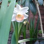 one of my first Daffodils