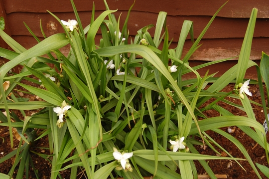 Tradescantia (Tradescantia virginiana (Spiderwort))