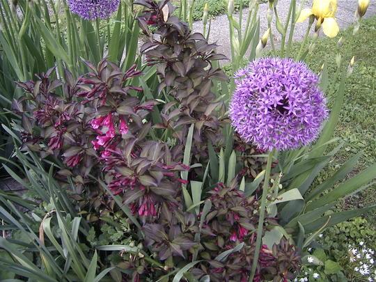 Weigela & Allium (Weigela florida 'Foliis Purpureis')