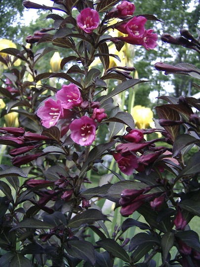 Purple Weigela (Weigela florida 'Foliis Purpureis')