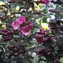 2008_06_05_weigela_purple