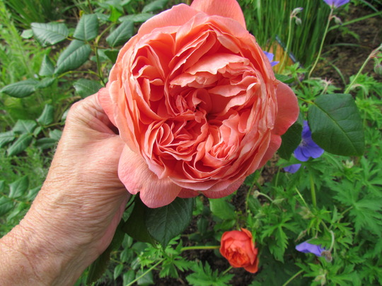 Rose Summer Song